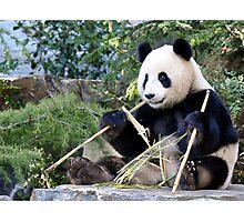 Chop Sticks - Funi   - Adelaide Zoo's Female Panda Photographic Print