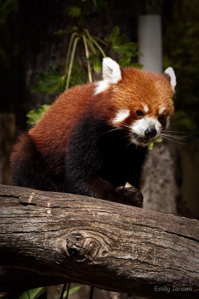 Hungry Red Panda by Emily Jansen