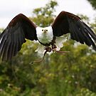 African fish eagle by Shaun Whiteman