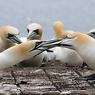Gannet Turf War - Bass Rock, Scotland by Derek McMorrine