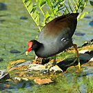 Common Gallinule by Robert Abraham