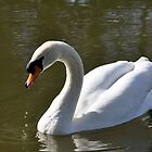 Mute Swan on Rolleston Pond by Rod Johnson