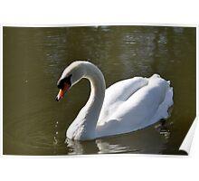 Mute Swan on Rolleston Pond Poster