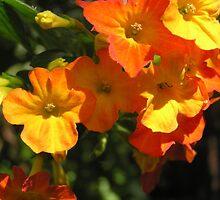 Orange Clivea  Flowers by Virginia McGowan