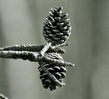 pinecones in winter by cetrone