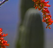 Ocotillo and Saguaro by gcampbell