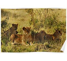 Masai Mara - Lioness with cubs Poster
