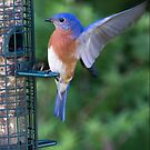 Blue Bird Landing by Photography by TJ Baccari