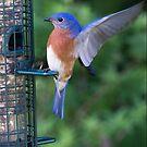 Blue Bird Landing by TJ Baccari Photography
