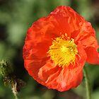 Poppy and Seed Pod by ElyseFradkin
