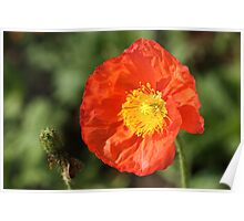 Poppy and Seed Pod Poster
