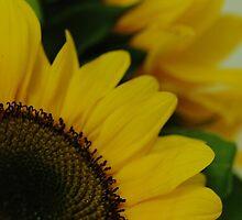 Sunflower - Ottawa, Ontario by Tracey  Dryka