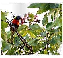 Rainbow Lorikeet having a late afternoon snack Poster