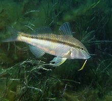 Goatfish in Seagrass by Edjamen