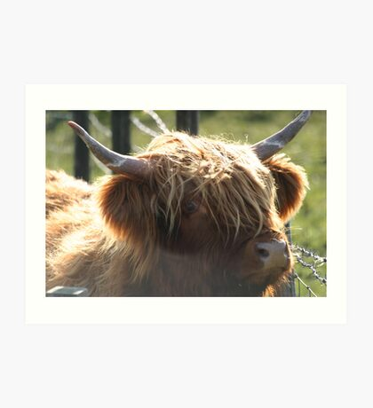 highland coo, Scotland Art Print