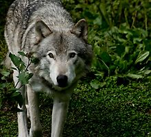 Timberwolves - Parc Omega, Montebello, PQ by Tracey  Dryka