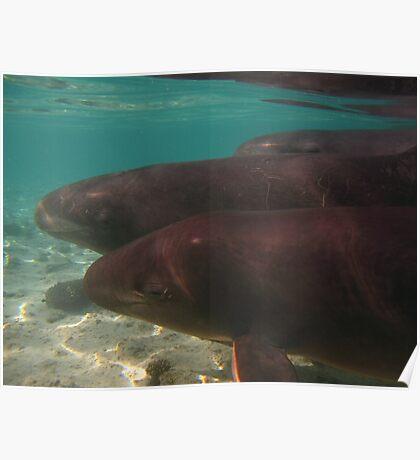 False Killer Whales - Ningaloo Poster