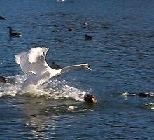 Swan Chasing Ducks - Mill Pond, Stonybrook, NY by Jay Morena