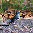Northern Parula hot pavement by TJ Baccari Photography