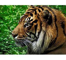 Sumatran Tiger Wildlife Big Cat-Lover Photographic Print
