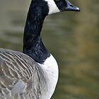 Canada Goose Portrait by Rod Johnson