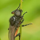 Heather Fly Bibio pomonae by stevepl
