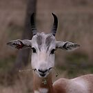 Gazelle at Fossil Rim Wildlife Park by Susan Russell
