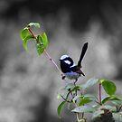 Blue Wren by tracyleephoto