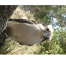 Australian Kookaburra sitting on a branch at BBQ Picnic. Photographic Print
