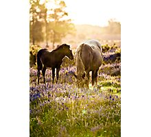 Horse and foal in the New Forest Photographic Print