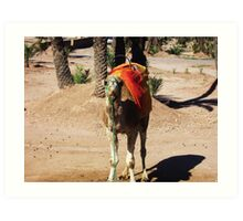 Stare-down - Camels of Morocco Art Print