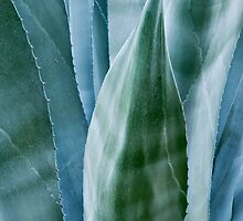 Agave by moonlight by Alex Ramsay