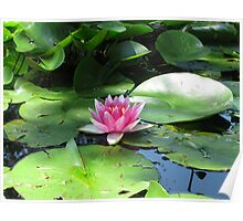 Lotus Flower - among the lily pads Poster