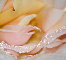 Teardrop Rose by Cassie Robinson