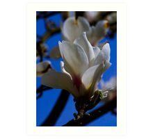 Magnolia Blossum Art Print