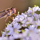 Hoverfly by NaturesEarth