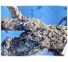Leafy Lichens Poster