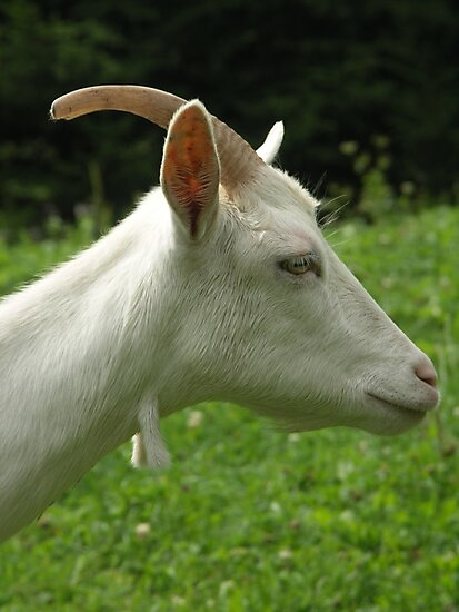 Goat by houk