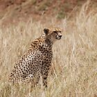Cheetah by CriscoPhotos