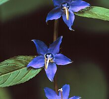 TALL BELLFLOWER by Chuck Wickham