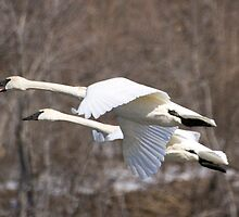 Swans in Flight on the Mississippi by livinginoz