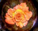 Orange Rose by karolina