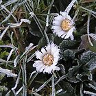 winter frosted daisies by Cheryl Kay-Roberts