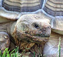 Galapagos Giant Tortoise by Teresa Zieba