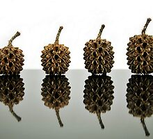 Cypress Seed Pods by carlosporto