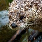 Portrait of an Otter by Mark Baldwyn
