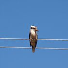 Kookaburra sitting on electricity line by Rodney O'Keeffe