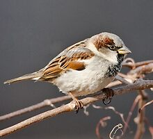 House Sparrow on Vine by (Tallow) Dave  Van de Laar