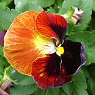 Pretty Pansy by KazM