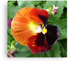 Pretty Pansy Canvas Print